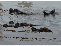 Sea otters rolling around in the water!