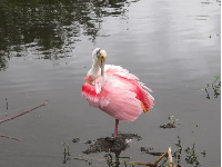 A Roseate Spoonbill and its fluffy pink feathers!