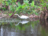 A white egret, determined to find a meal.