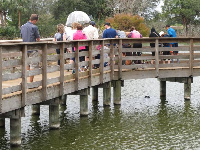 People check out the alligator under the boardwalk.