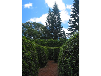 Bushes throughout the main part of the maze are 8 feet high.