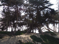 Tall cypress trees on the dunes near the boardwalk.