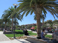 Canary palms at The Arbor.