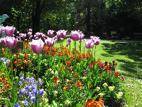 Tulips in the garden in early May.