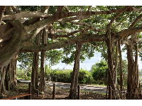 Banyan tree at the base of the lighthouse!