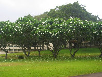 Plumeria trees above the Japanese Gardens.