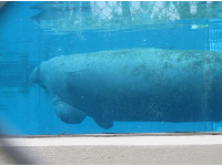 Manatee through the glass.
