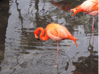 Flamingoes are incredible!