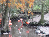 A gorgeous cypress swamp with flamingoes.
