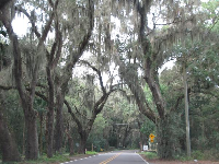 Amelia Island has a lot of spooky ragged trees.