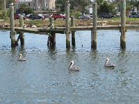 Pelicans bobbing around on the water.