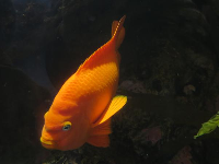 An orange fish.