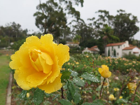 Dark yellow rose and little houses on Plaza Rubio.