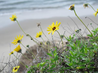Daisies on the cliff above the sea. Love it!