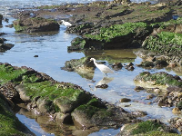 I love these birds hunting in the tide pools.
