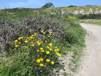 Yellow poppies on the Labyrinth Trail!