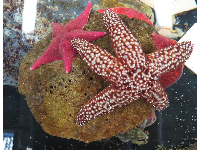 Starfish in the touch tank at The Reef.