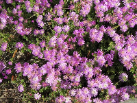 Ice plant beside the stairs that go up to Dickson Court.