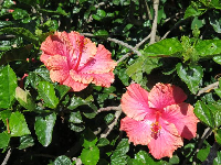 Pink and orange hibiscus.