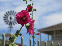 Lovely pink flowers, windmill, and adobe house.