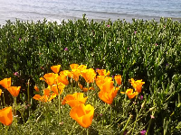 Poppies by the sea...