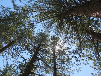 Looking up at the pines.