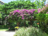 Bougainvillea at the Hale Koa Hotel.