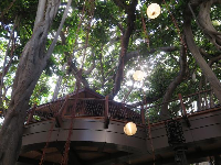 Tarzan ropes hanging from the banyan tree.