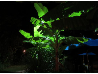 Banana trees lit up at night, in the Hale Koa Hotel grounds.
