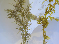 Seahorse camouflaged with seaweed.
