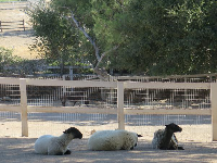 Sheep sitting in the shade.