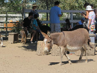 Donkey walking around the petting area.
