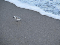 Little bird running from a wave.