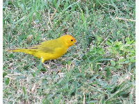 Little yellow bird searching for seeds in the grass.