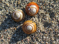 Turban snails. Don't collect them because they smell!
