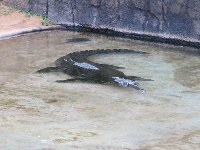 A gharial, which has such a strange long snout.