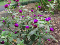 Globe Amaranth- such cute purple globes.