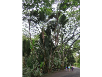 See the little people to see how big these banana trees are!