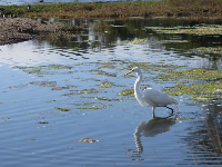 Great Egret in the lagoon.