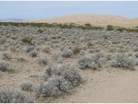 Little silvery desert plants and dunes in the distance.