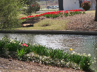 Tulips and daffodils by the canal.