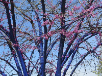 Blue-painted tree and blossoms.