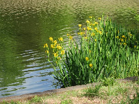 Yellow lilies by the pond.