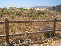 Wildflowers and dunes at windy San Buenaventura Beach.