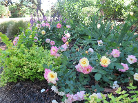 Yellow roses and pink roses on the same bush!