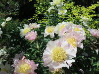 White peony with yellow center.