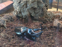 Male rhino beetle, in the insect area.