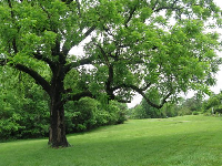 Large oak tree and lush field.