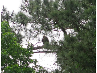 Eagle high in a tree!!