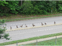 Geese trying to cross the road.